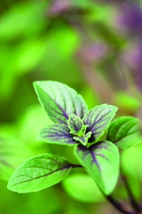 herbs_basil_hi_res